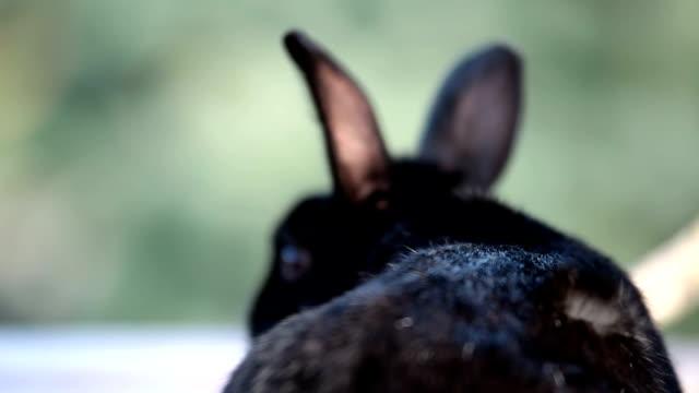 Small dwarf black bunny sitting in the wind