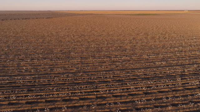 vídeos de stock e filmes b-roll de small farms surrounded by cotton fields ready for harvesting at sunset in autumn, texas, usa. aerial drone video with the forward and ascending camera motion. - terra cultivada