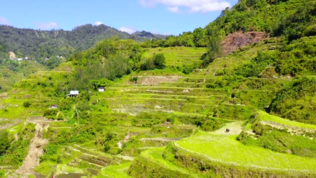 Small farms with a cow in the middle of rice terraces in Banaue, Philippines. Beautiful landscape of agriculture in a valley in the middle of mountains in a wonderful day - aerial view with a drone 4K Banaue's rice terraces with small farms and houses in nature. One of the most beautiful agriculture in Philippines, with the most wonderful view.  Perfect landscape in an amazing place, with the respect of environment banaue stock videos & royalty-free footage