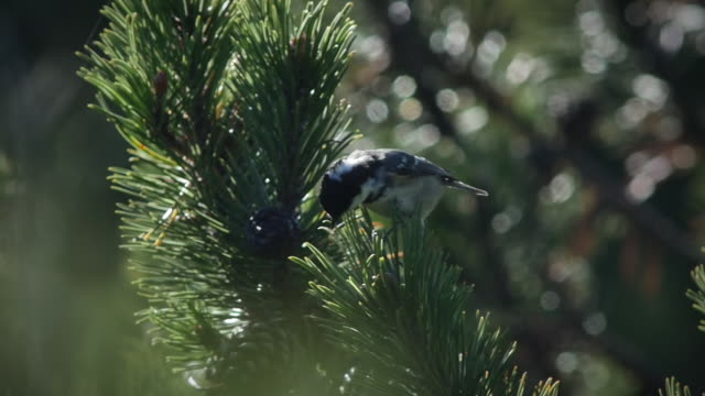 Small finch bird on a pine tree in the Black Forest