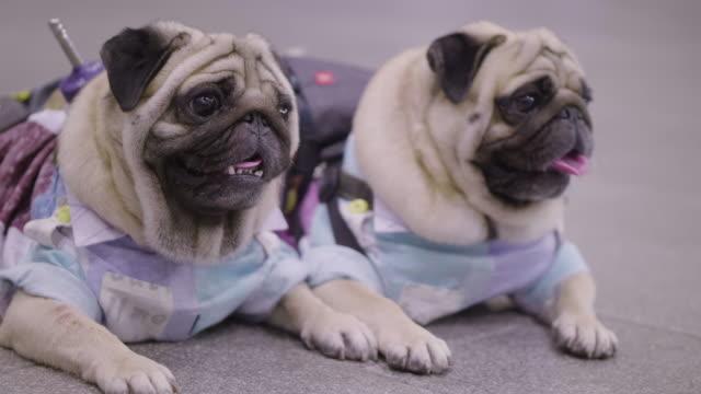 2 küçük fransız bulldogs - i̇ki nesne stok videoları ve detay görüntü çekimi