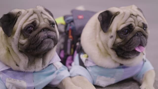 2 small french bulldogs - due oggetti video stock e b–roll