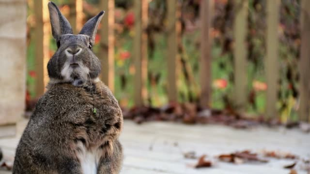 Small gray and white rabbit standing left twitching nose moving mouth warm autumn