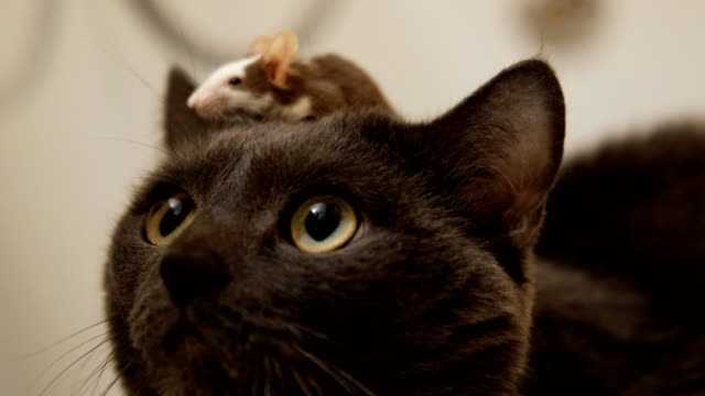 A small gray mouse sits on the head of the cat.