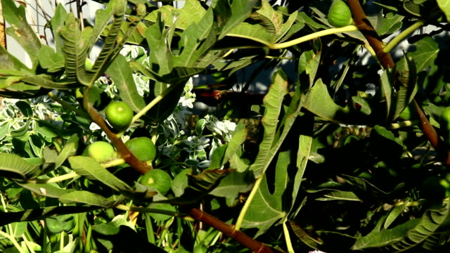 Small green fig fruits on tree