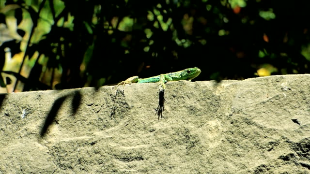 Small green lizard sitting on old hot stone Small green lizard (Lacerta agilis) sitting on old hot stone and looking at camera. Green foliage behind. Sunny summer day. reptile stock videos & royalty-free footage