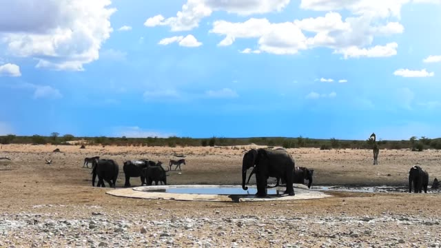 Small group of African elephants drinking at waterhole in Namibia 4k Video