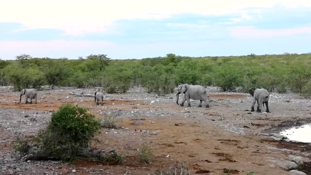 Small group of African elephants walking away from waterhole in Namibia 4k Video
