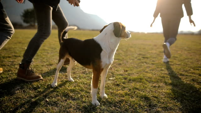 small group of teenagers play with stray dog in field.brothers and sister in the back light - cane addestrato video stock e b–roll