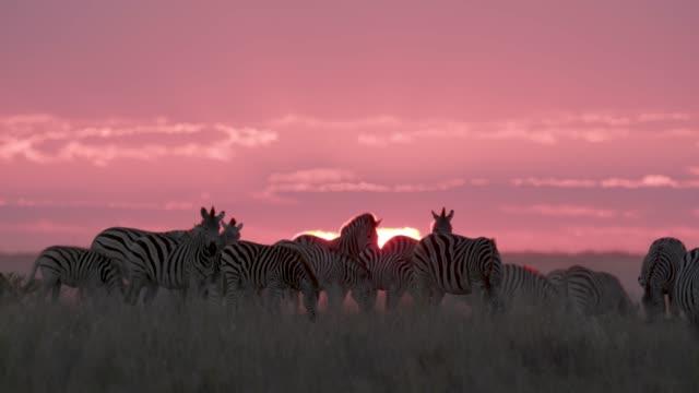 Small group of zebras grazing against a beautiful red sunset in the Makgadikgadi grasslands, Botswana Small group of zebras grazing against a beautiful red sunset in the Makgadikgadi grasslands, Botswana makgadikgadi pans national park stock videos & royalty-free footage