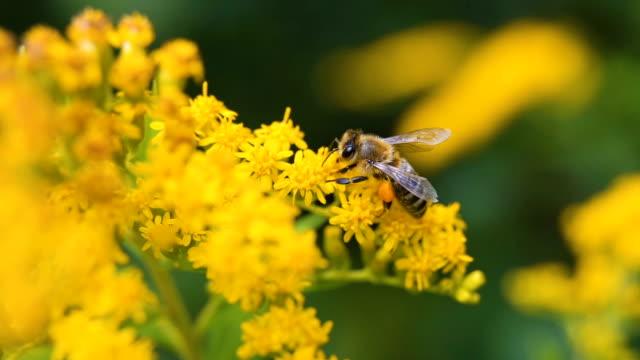 małe ciężko pracujące pszczoły zbierające pyłek podczas słonecznego letniego dnia - pszczoła filmów i materiałów b-roll