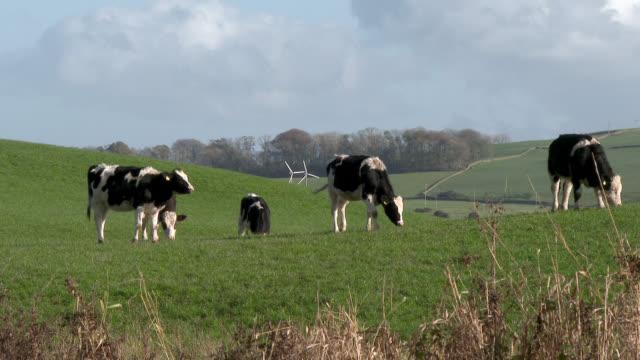 작은 흑백 젖소의 - 젖소 스톡 비디오 및 b-롤 화면