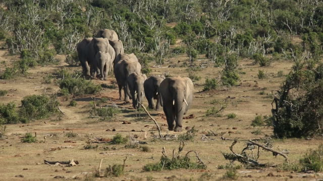 Small herd of African elephants - South Africa video