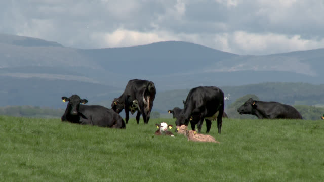 Small herd of beef cattle with calves A small group of beef cattle and calves in a Scottish field on a spring morning, 4K footage shot at 60fps and interpreted at 23.976fps to give slow motion. galloway scotland stock videos & royalty-free footage