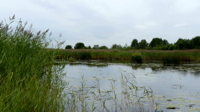 small lake overgrown with reeds wetland