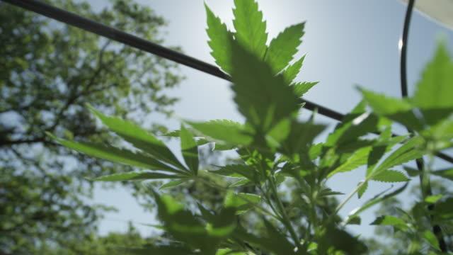 liten marijuana växter växer utomhus - hasch bildbanksvideor och videomaterial från bakom kulisserna