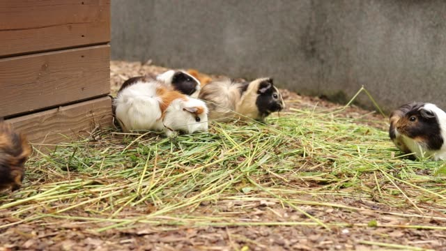 Small, mottled and otherwise colored Cavia porcellus enjoys its hearty lunch in the form of the freshest grass and hay. Vegetarians, healthy diet. Guinea pigs enjoy the lunc