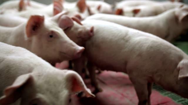 ein kleines ferkel in der farm. gruppe von schweinen futter warten. schweine im stall. - schwein stock-videos und b-roll-filmmaterial