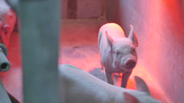 stockvideo's en b-roll-footage met kleine varkens in de farm - pig farm