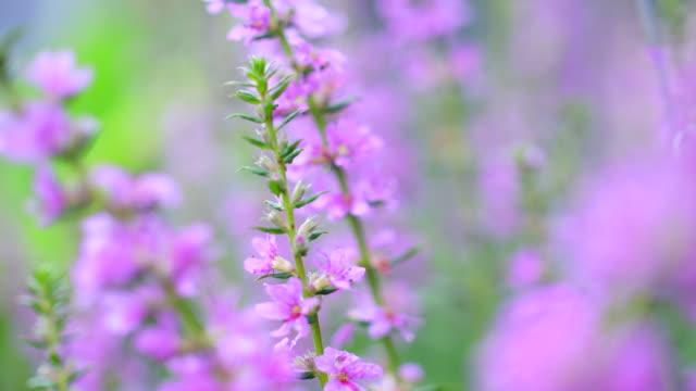風に揺るがす小さなピンクの花 ビデオ
