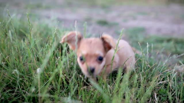 liten valp av chihuahua för första gången på en promenad och spelar i naturen på fältet - morrhår bildbanksvideor och videomaterial från bakom kulisserna