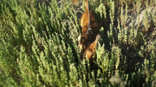 liten valp av chihuahua för första gången på en promenad och spelar i naturen på det gröna gräset - morrhår bildbanksvideor och videomaterial från bakom kulisserna