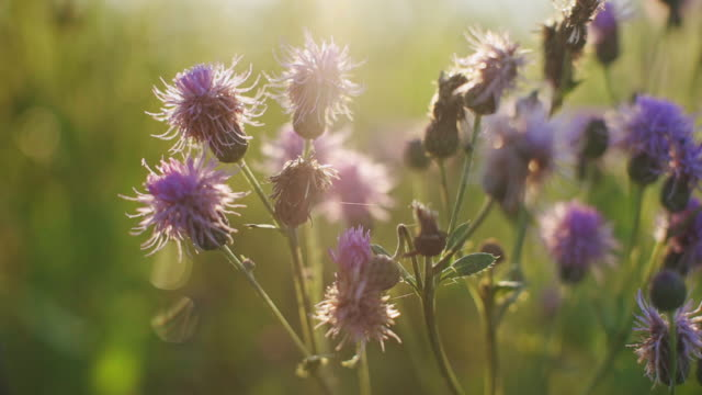 Small purple thistle flowers tremble with sunlight