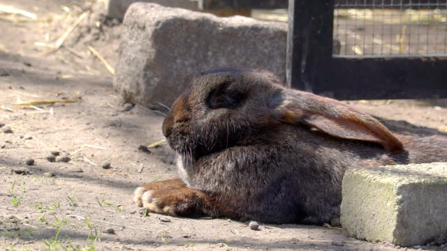 A small rabbit lying on the ground munching A small rabbit lying on the ground munching a carrot on his hand inside the zoo coonhound stock videos & royalty-free footage