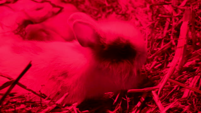 A small rabbit munching a stick on the hay A small rabbit munching a stick on the hay inside a cage in the farm coonhound stock videos & royalty-free footage