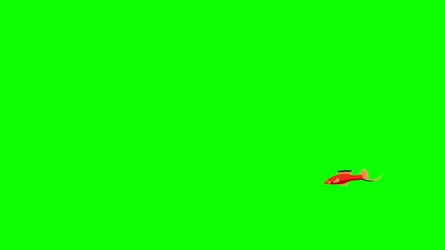 小さな赤い水槽魚クロマキー - 魚点の映像素材/bロール