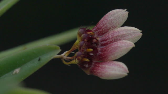 Small Red Orchid