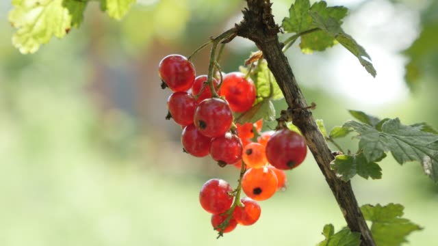 small redcurrant deciduous shrub tasty red berries shallow dof 4k - ribes rosso video stock e b–roll