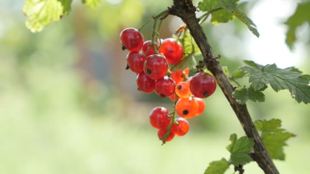small redcurrant deciduous shrub tasty red berries shallow dof - ribes rosso video stock e b–roll