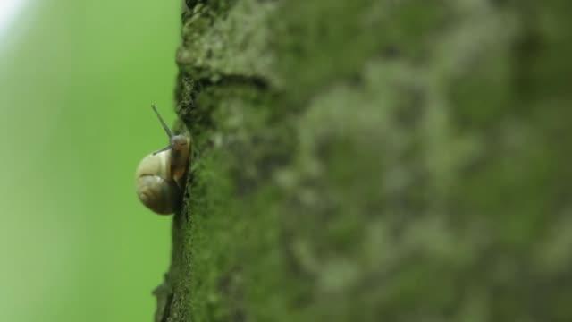 Small snail eats moss