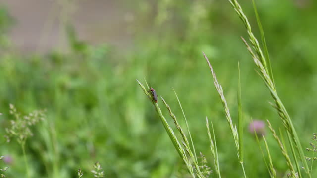 A small soldier beetle sitting on grass