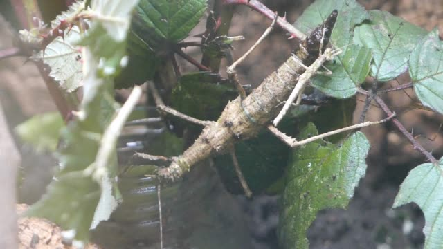 Small stick bug sitting on a big stick bug, piggyback ride