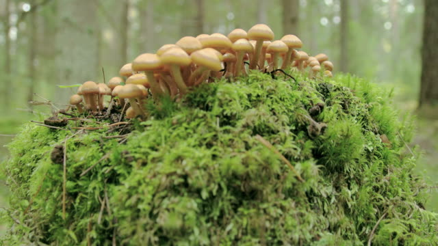 Small tiny honey fungus growing on the trunk FS700 4K video