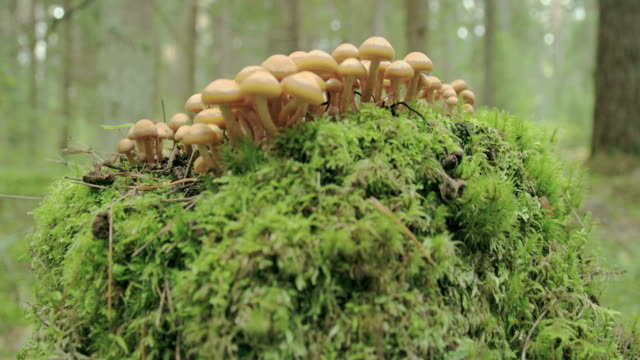 Small tiny honey fungus growing on the trunk video