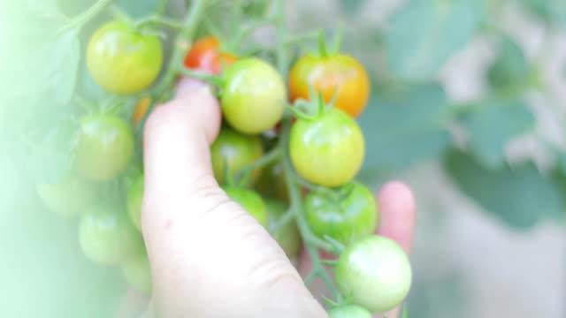 小型トマト ビデオ