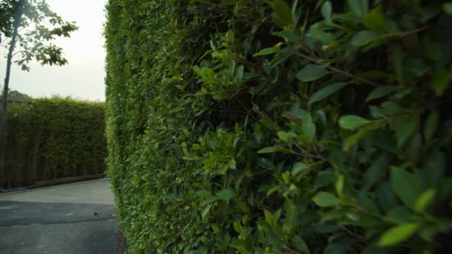 vidéos et rushes de petit arbre faisant un mur de nature de buisson - haie