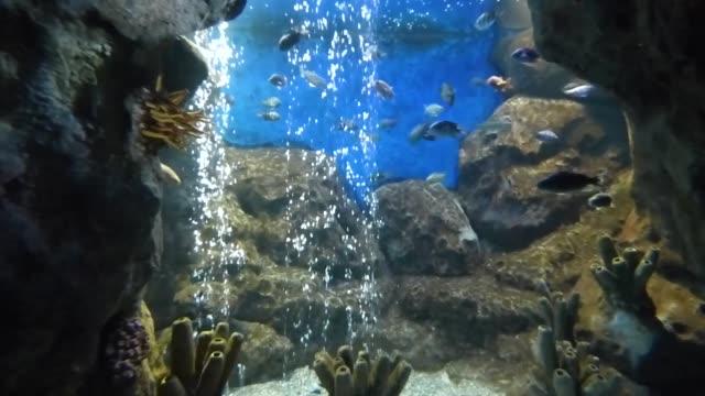 küçük tropikal balıklar taşların arasında saf suda yüzer - i̇htiyoloji stok videoları ve detay görüntü çekimi