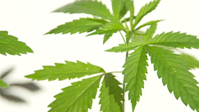 CLOSE UP, DOF: Small water drops on beautiful jagged leaves of young green ganja video