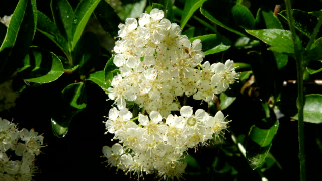 CLOSE UP DOF: Small white elderberry flowers blooming on sunny day in spring video