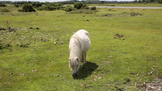 Small white pony eating grass video