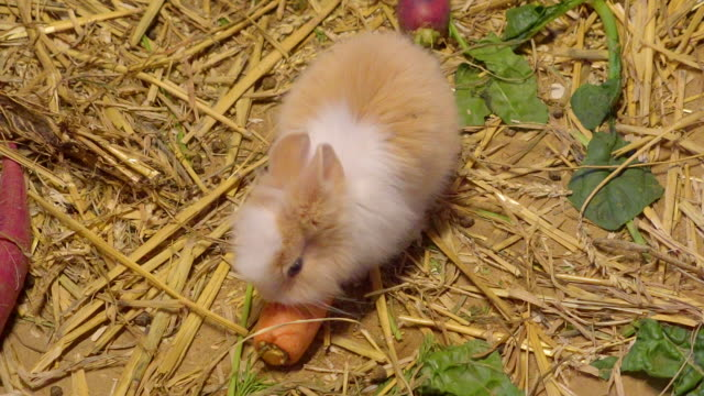 A small white rabbit eating a carrot on the floor A small white rabbit eating a carrot on the floor inside the pen with lots of hays and carrots on the floor coonhound stock videos & royalty-free footage