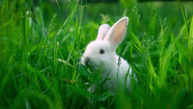 vidéos et rushes de un petit lapin blanc mange une feuille verte sur fond herbe juteuse. - apprivoisé