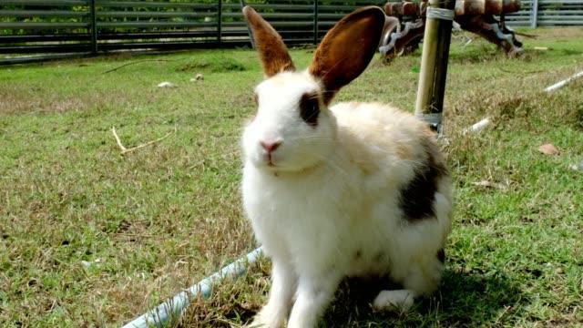 kleine weiße kaninchen auf gras werden im stall angehoben - nutztier oder haustier stock-videos und b-roll-filmmaterial