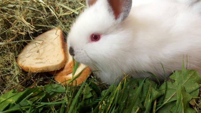 Small white rabbits