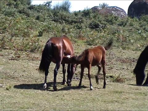 kleine wild horse suck - hengst stock-videos und b-roll-filmmaterial