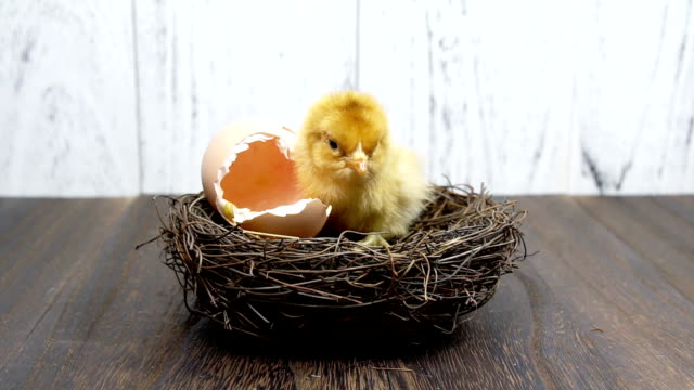 small yellow chicken - młody ptak filmów i materiałów b-roll